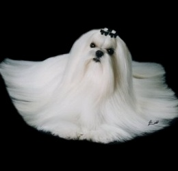 Maltese breeders of Maltese puppies & Champion Maltese Dogs