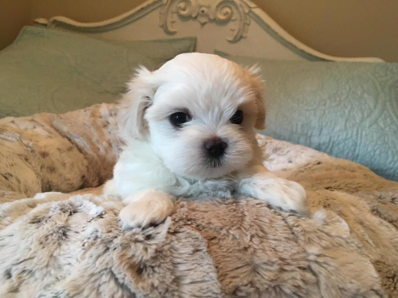 Maltese Breeders Of Maltese Puppies Champion Maltese Dogs